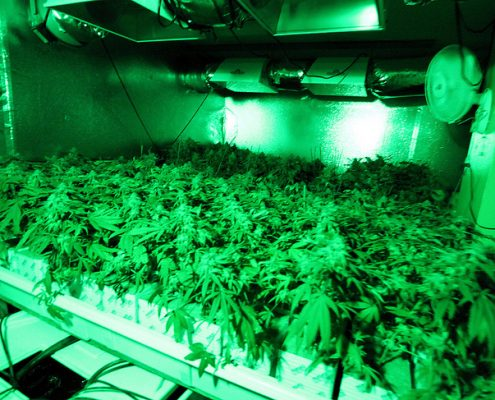 marijuana grower operation for medical marijuana business