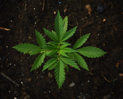 a cannabis plant in dirt to illustrate marijuana microbusiness